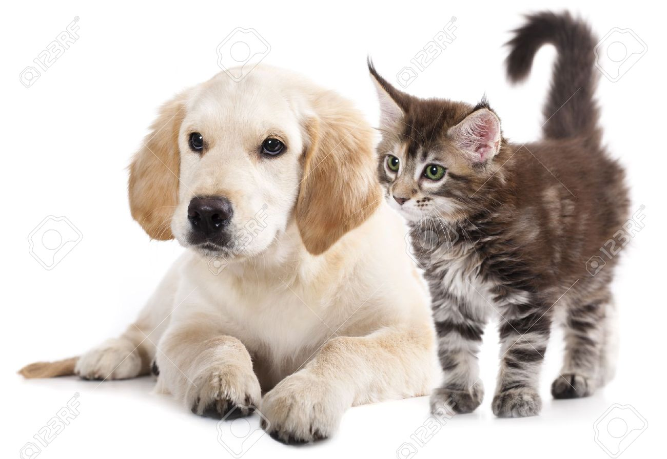 Labrador Puppy And Kitten Breeds May Kung Cat And Dog Stock