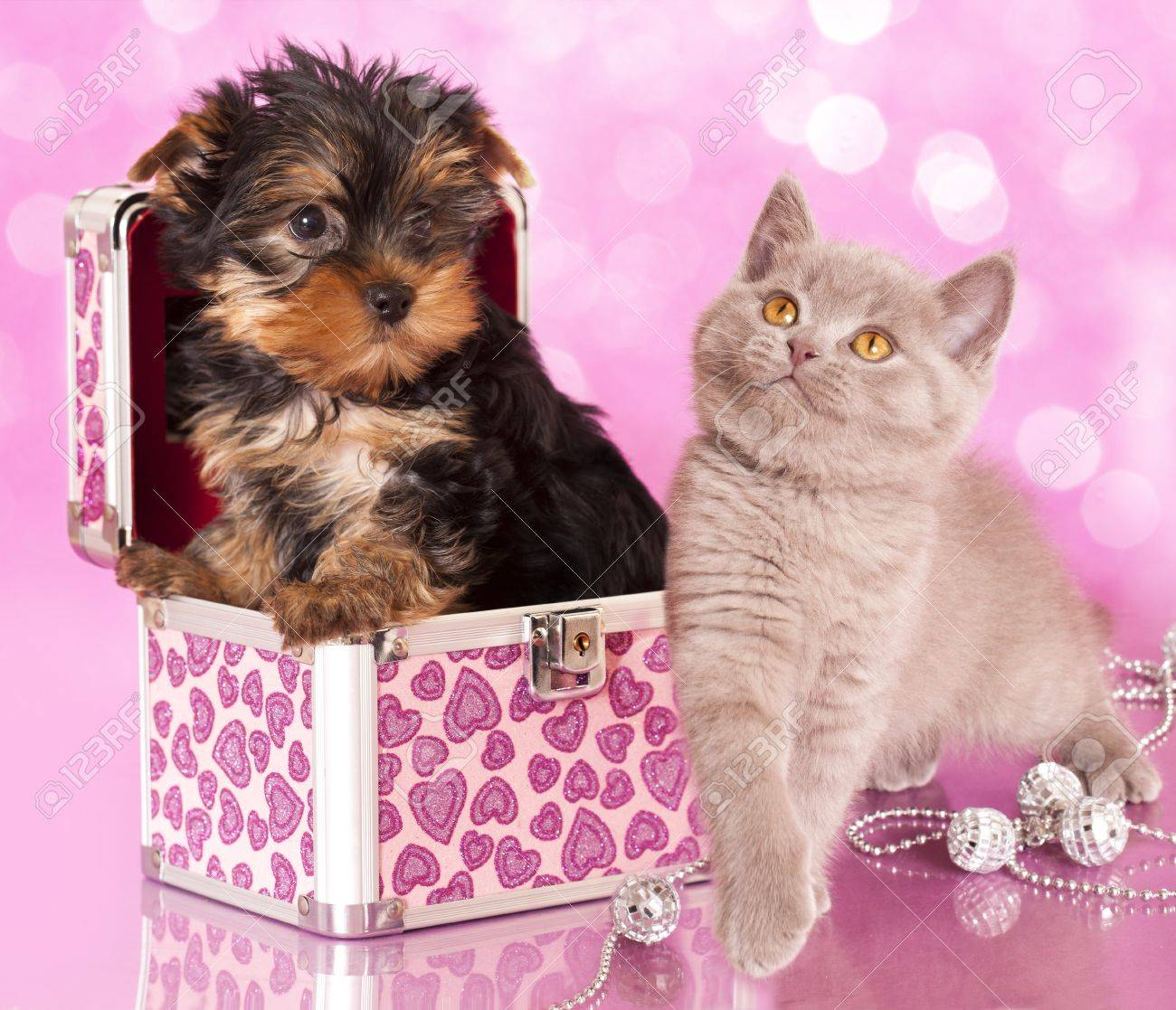 Yorkshire Terrier puppie  and british  kitten, cat and dog Stock Photo - 15419642