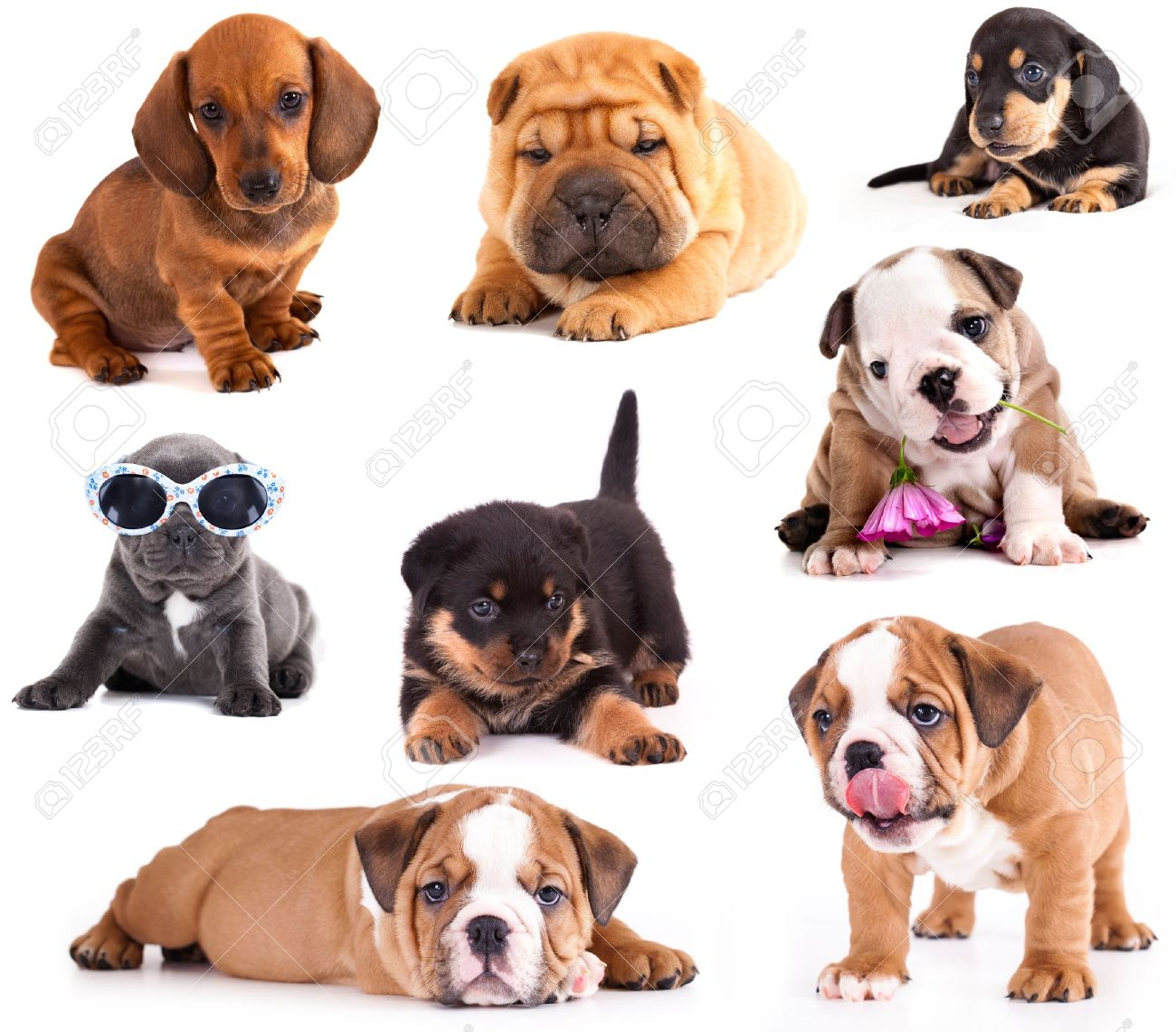 Puppies Of Different Breeds Dachshund Shar Pei Rottweiler