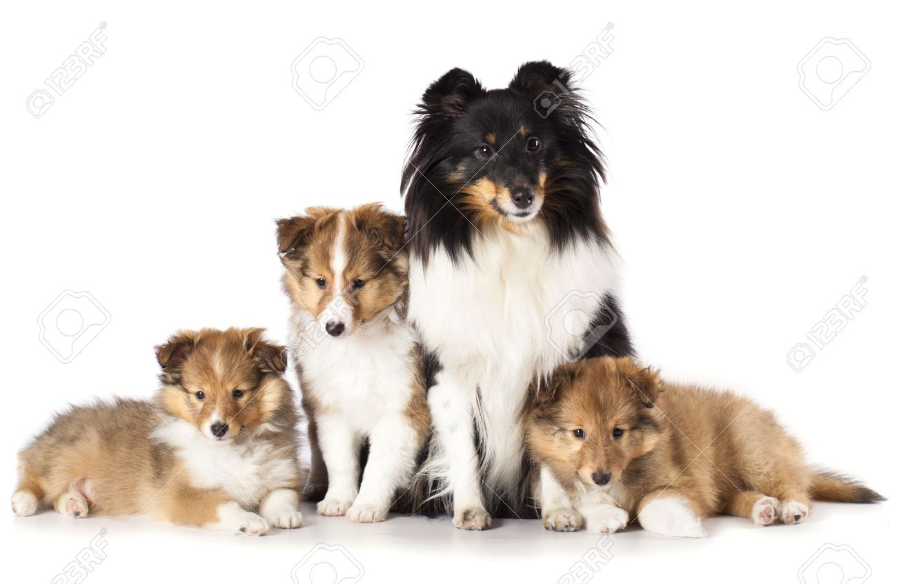 Sheltie Puppies And Mother Dog A Family Of Shetland Stock Photo