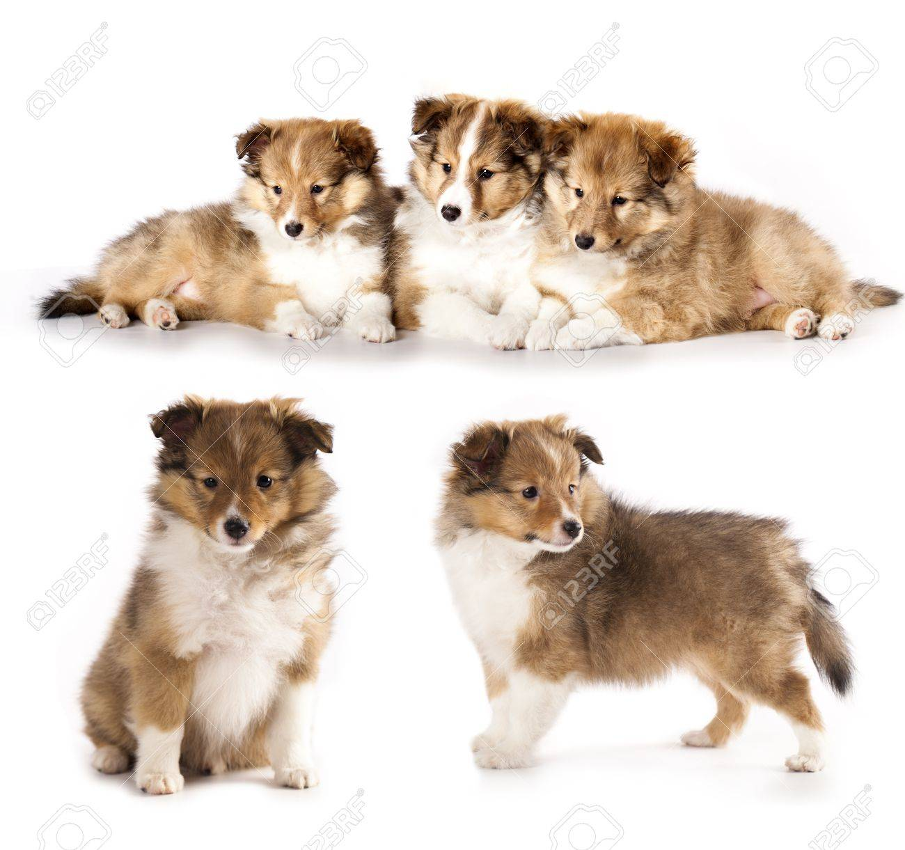 Sheltie Puppies Stock Photo Picture And Royalty Free Image Image