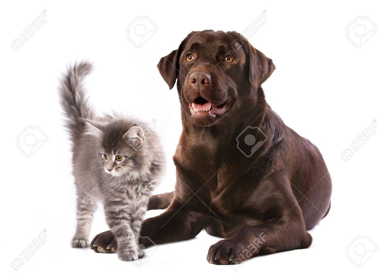 Labrador Dog And Kitten Maine Coon Stock Picture And