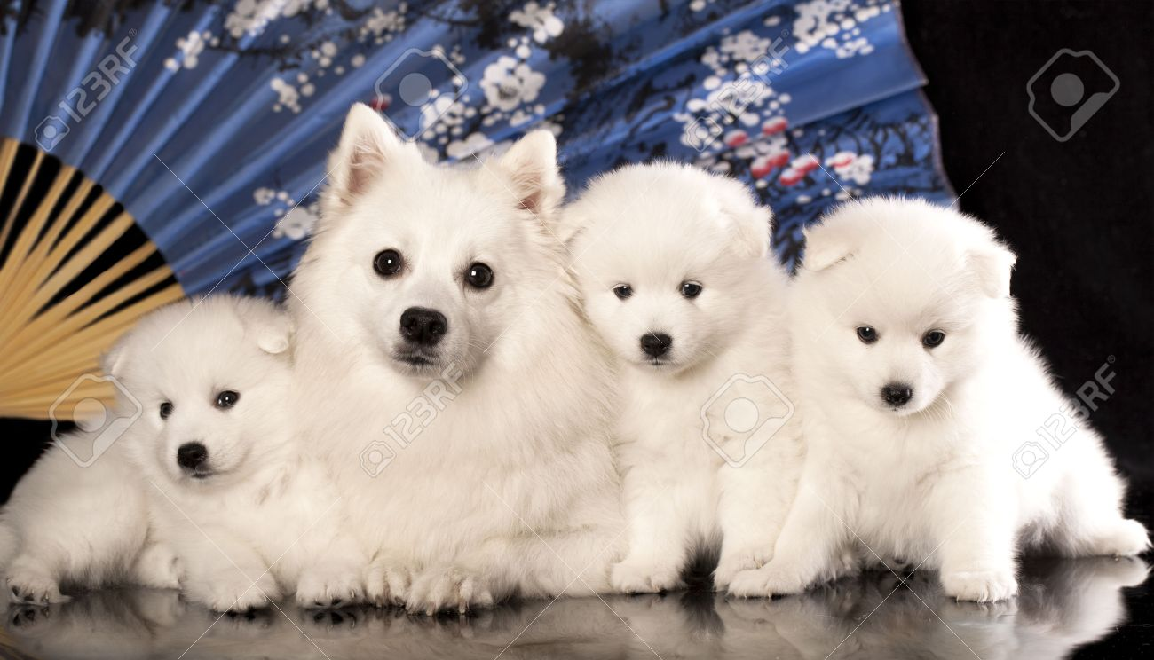 Dog And Puppies Japanese Spitz Stock Photo Picture And Royalty Free