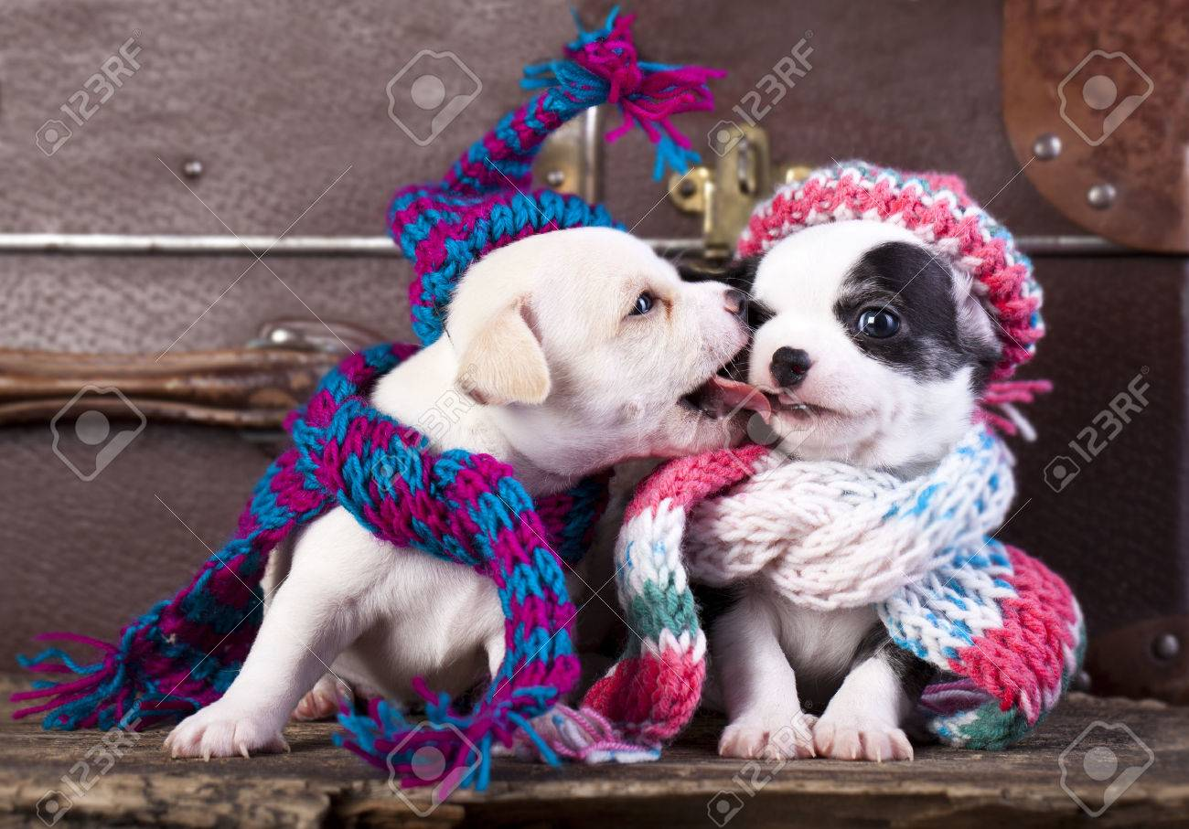 Chihuahua Puppies Couple Wearing A Knit Hat Stock Photo Picture And Royalty Free Image Image 24987319