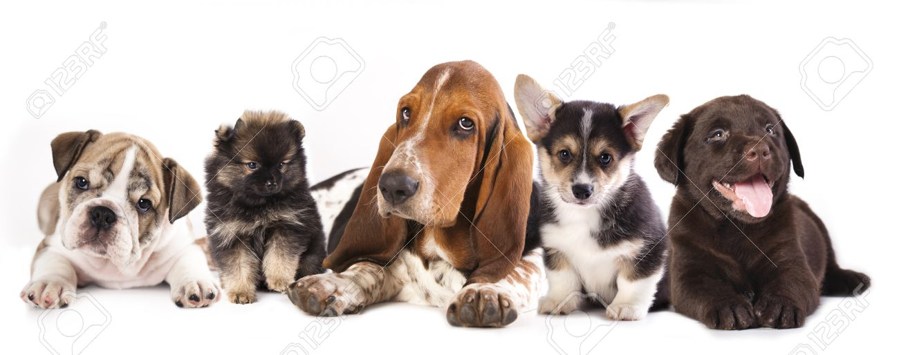 Group Of Puppies Basset Hound And Corgi Labrador Pomeranian