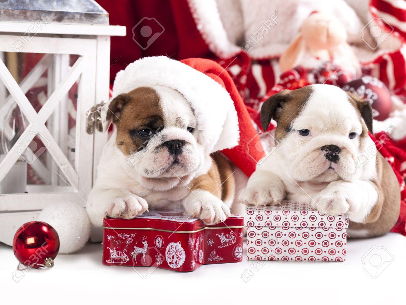 Assez Bulldog Anglais Chiots Noël Banque D'Images Et Photos Libres De  QT83