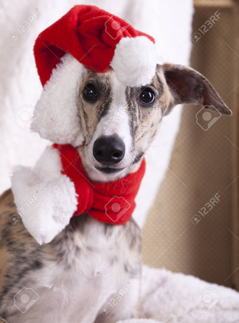df802b286ed8a dog whippet wearing a santa hat Stock Photo - 34437277
