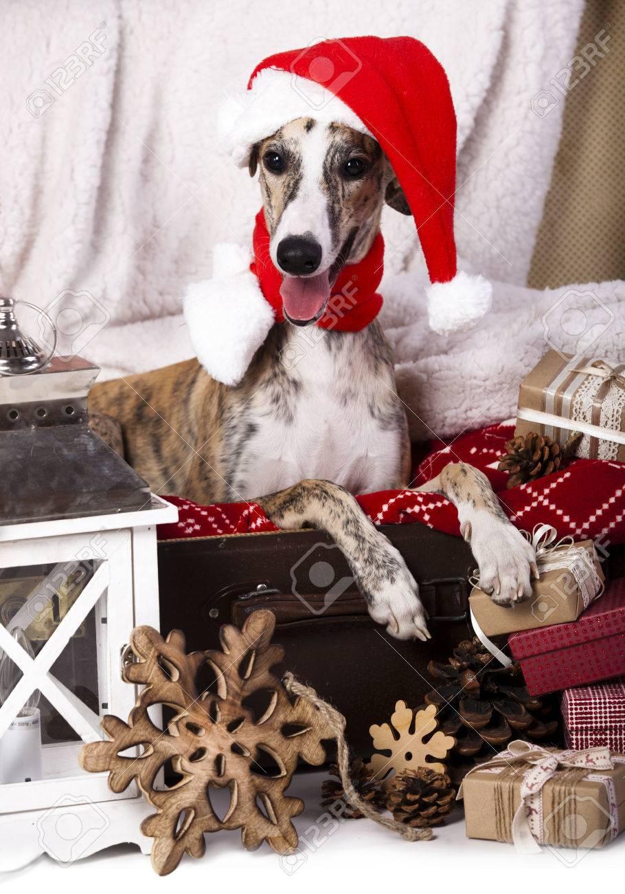 2e845718df81f dog whippet wearing a santa hat Stock Photo - 34437279