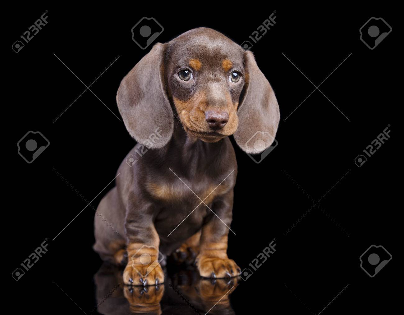 Dachshund Chocolate Puppy Stock Photo Picture And Royalty Free Image Image 37394147