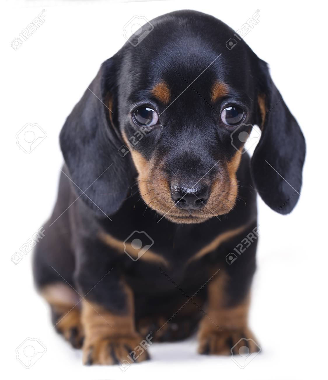 Sitting Dachshund Puppy Stock Photo Picture And Royalty Free Image