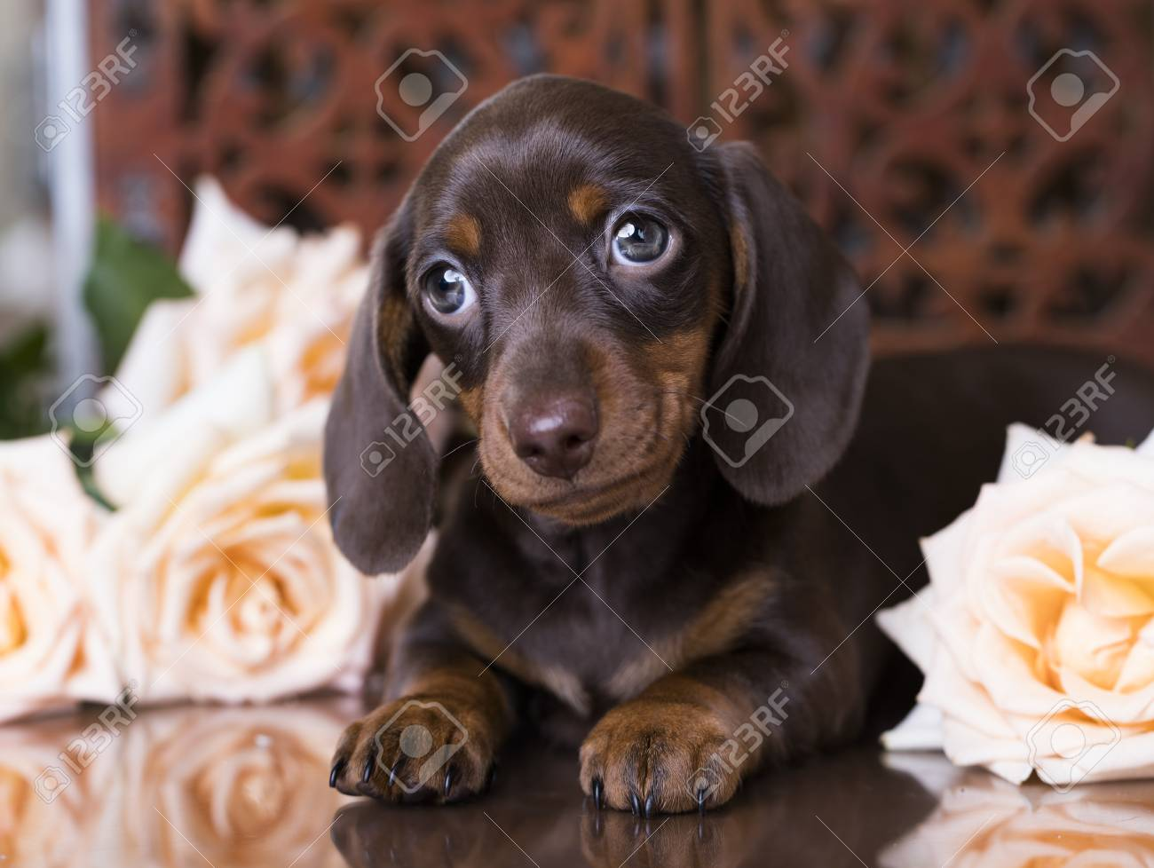 Puppy Dachshund Of Chocolate Color Stock Photo Picture And Royalty Free Image Image 83758628