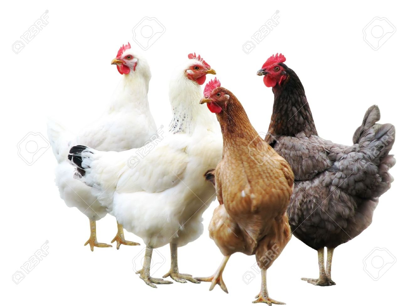 cute funny hens on white background isolated stock photo picture