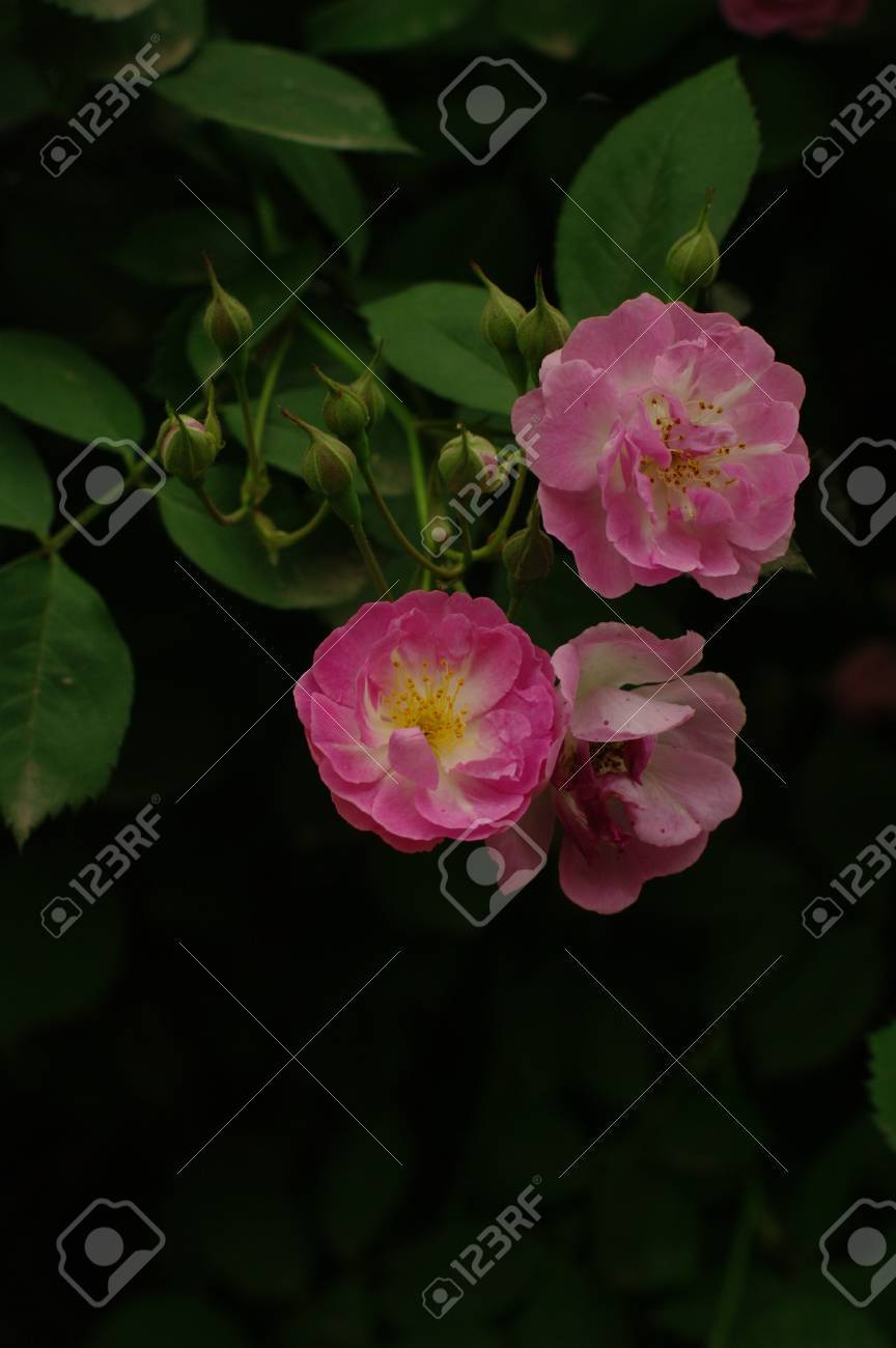 Pink Flower Stock Photo Picture And Royalty Free Image Image 64306640