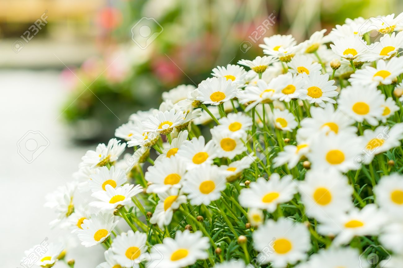 White Daisy Flower Bouquet At Garden Centre Retail Store Stock Photo ...