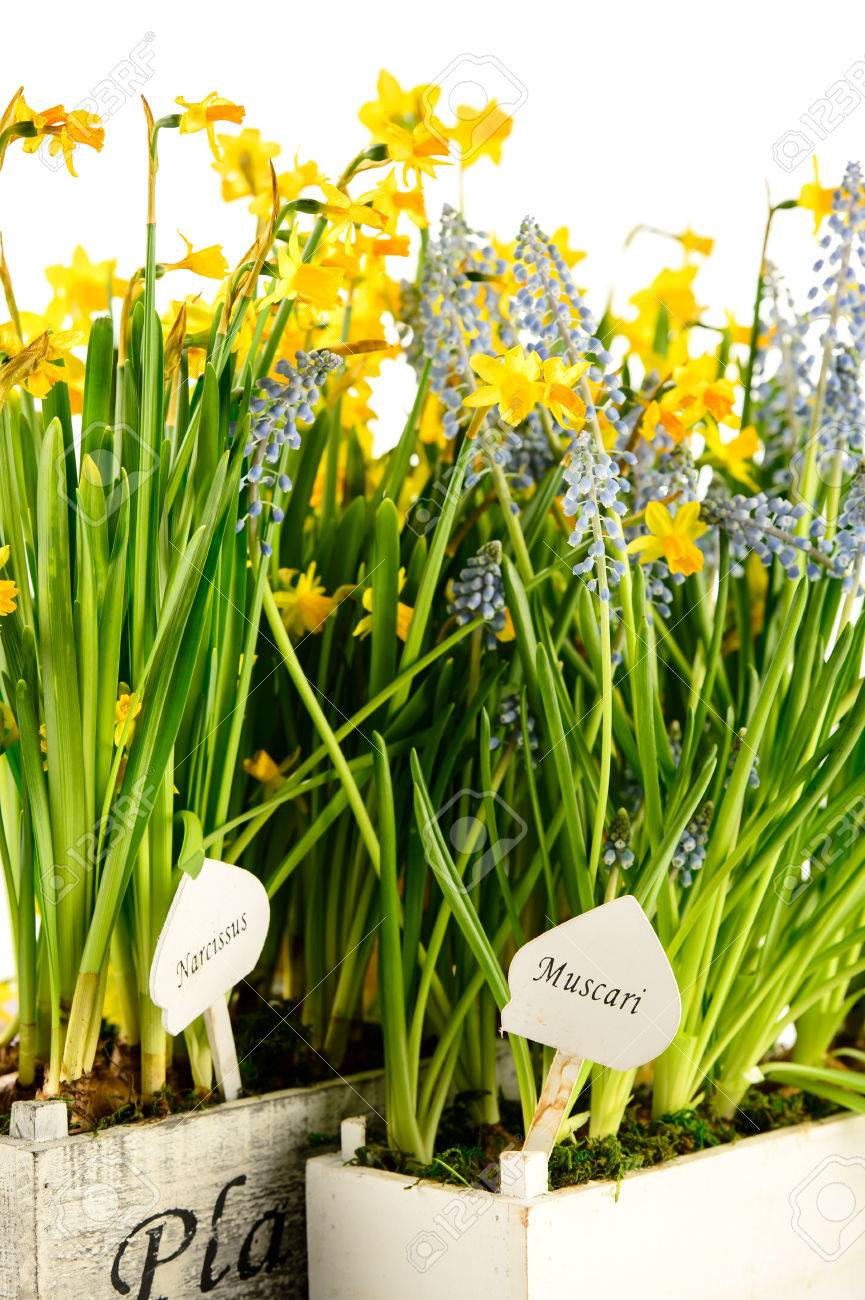 Grape hyacinth and narcissus spring potted flowers stock photo grape hyacinth and narcissus spring potted flowers stock photo 25754466 mightylinksfo