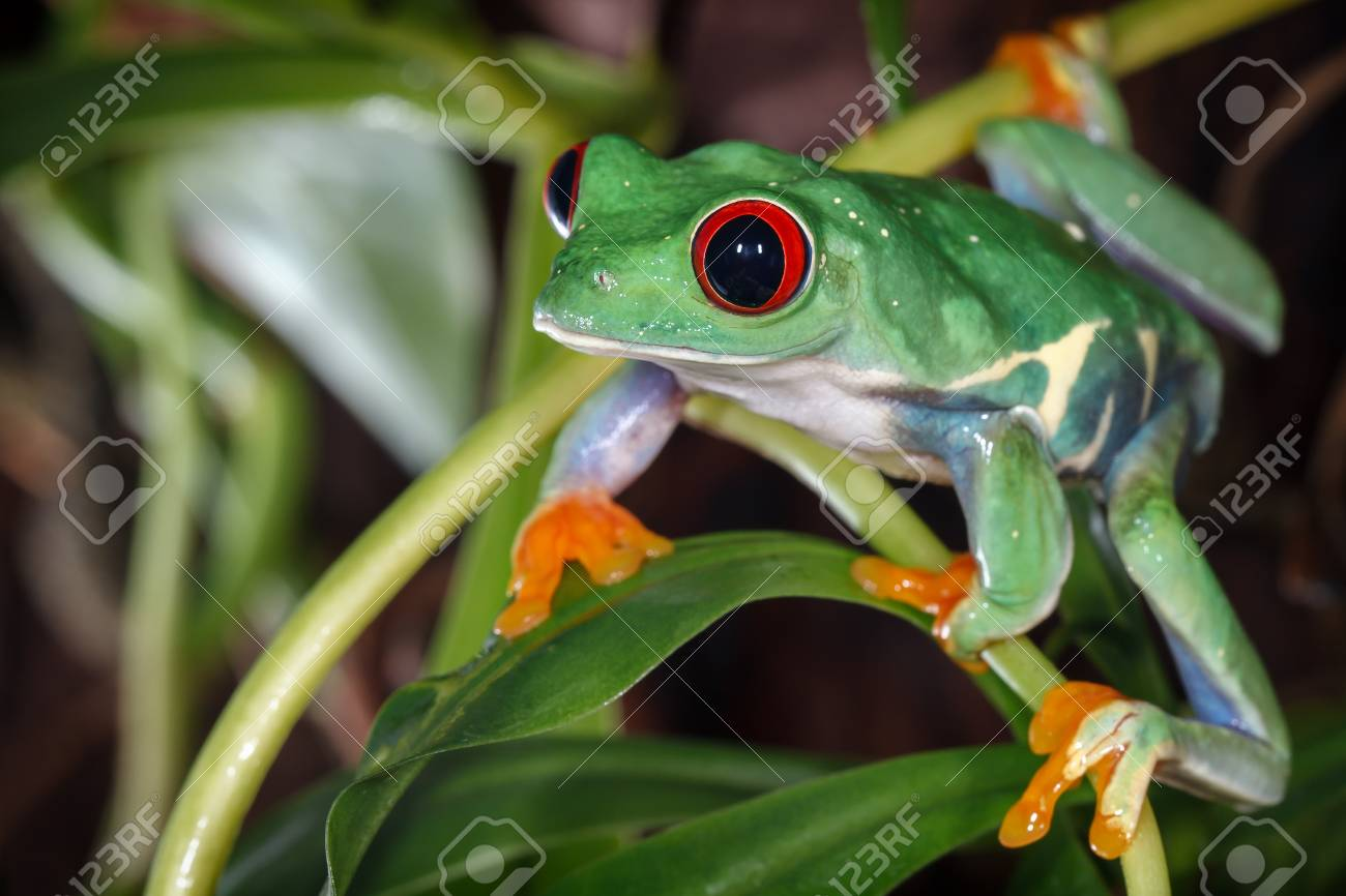 Red Eyed Tree Frog In The Terrarium Stock Photo Picture And Royalty Free Image Image 109338843
