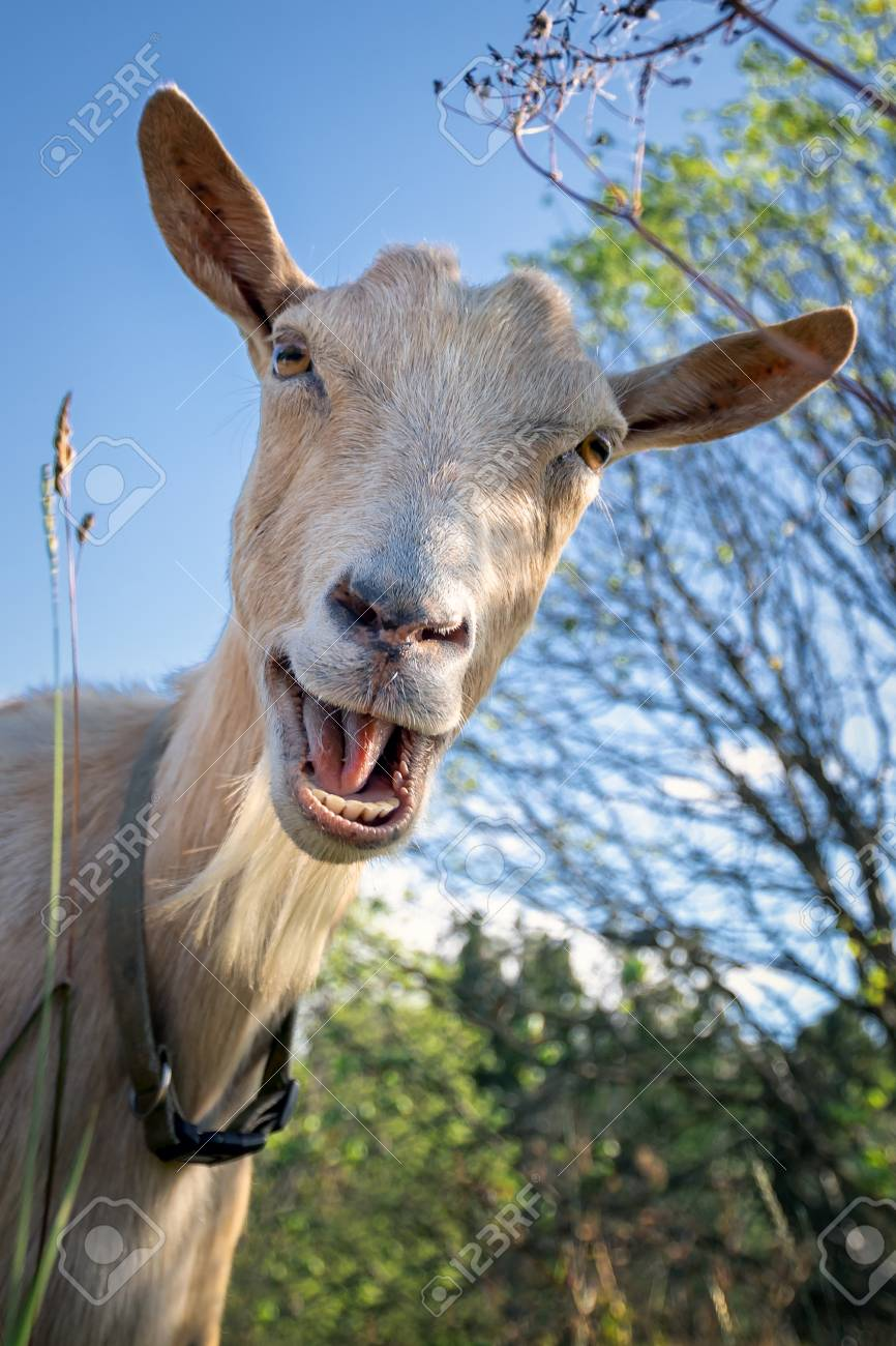 Funny Goat Between Shrubs Laughs And Say Hey Stock Photo Picture And Royalty Free Image Image 108725948