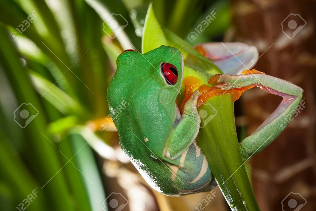 Red Eyed Tree Frog Swings On The Green Leaf In The Terrarium Stock Photo Picture And Royalty Free Image Image 108589818