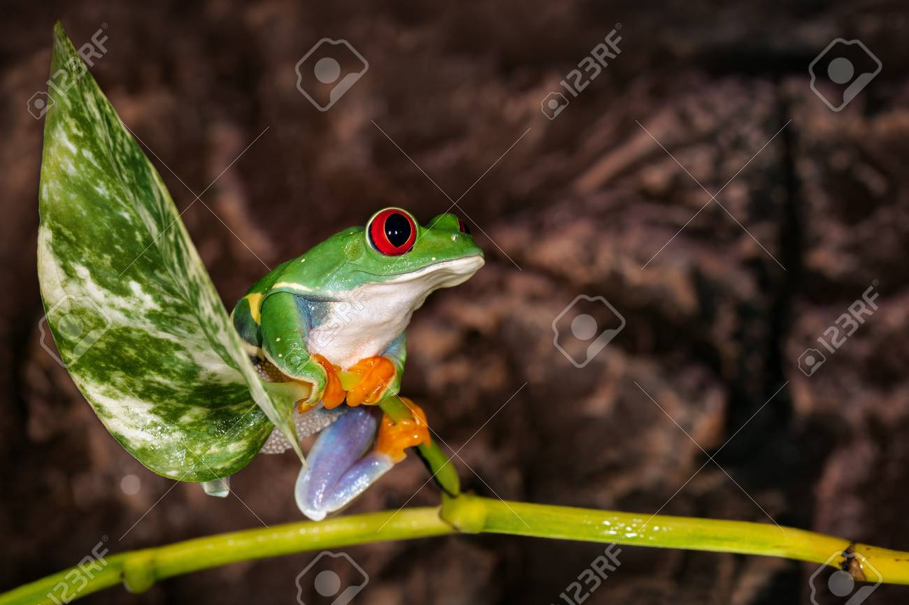 Red Eyed Tree Frog Sitting On The Plant Mast In The Terrarium Stock Photo Picture And Royalty Free Image Image 108324335