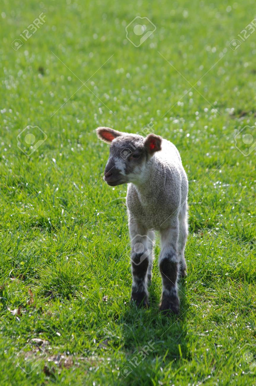 Solitary lamb in green field with space around Stock Photo - 21748214