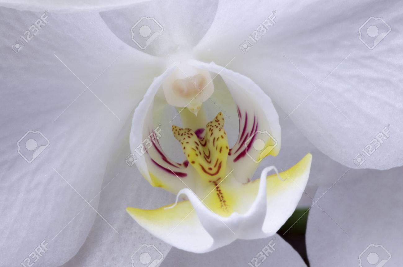 白胡蝶蘭、ファレノプシスの中心部のクローズ アップ の写真素材・画像 ...