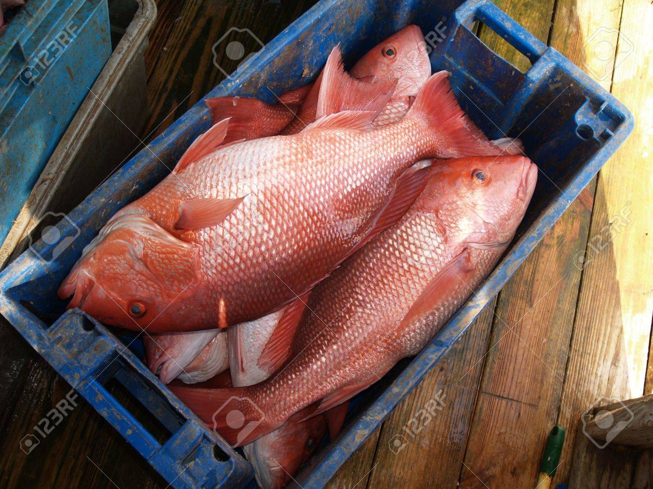 A days catch of large red snapper in a blue crate sitting on a dock which was caught in the Florida Gulf. Stock Photo - 5116011