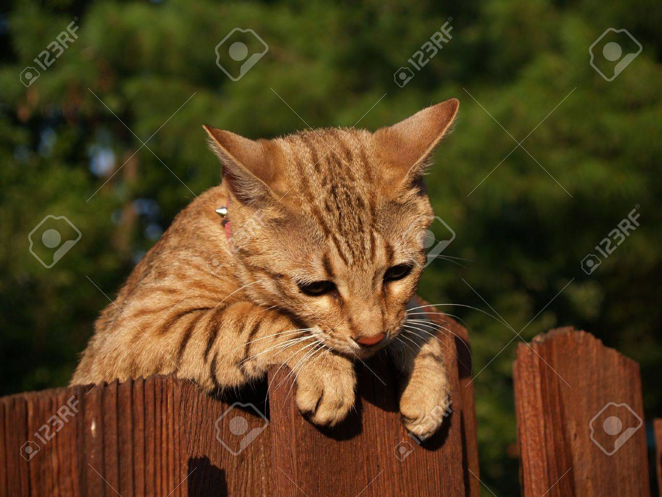 A striped gold colored female Serval Savannah cat looking down over a wooden fence wearing a pink collar. - 5458523