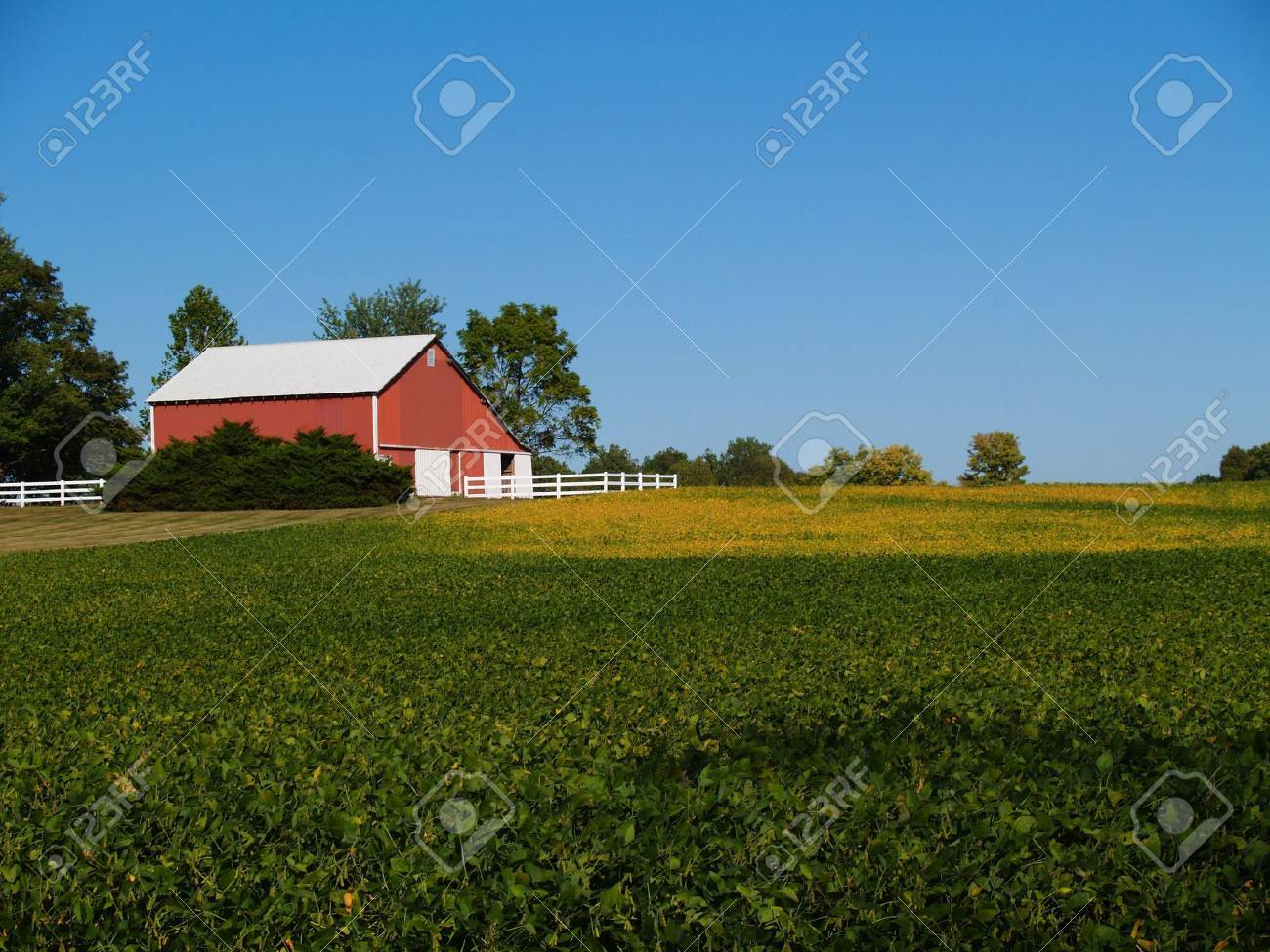 Ripening soybean field in front of red barn beneath a clear blue sky. - 5602484