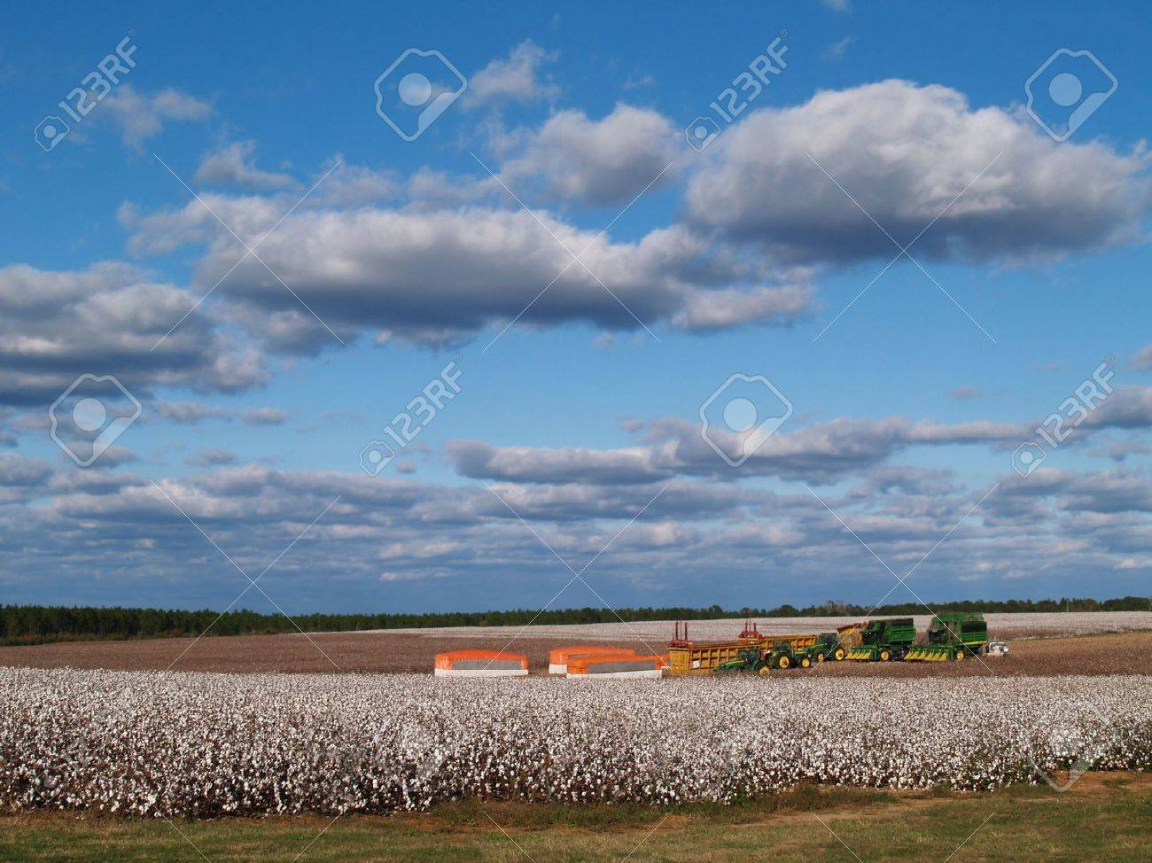 Country panorama of cotton fields at harvest time in south Georgia, USA underneath a cloudy blue sky. - 5893804