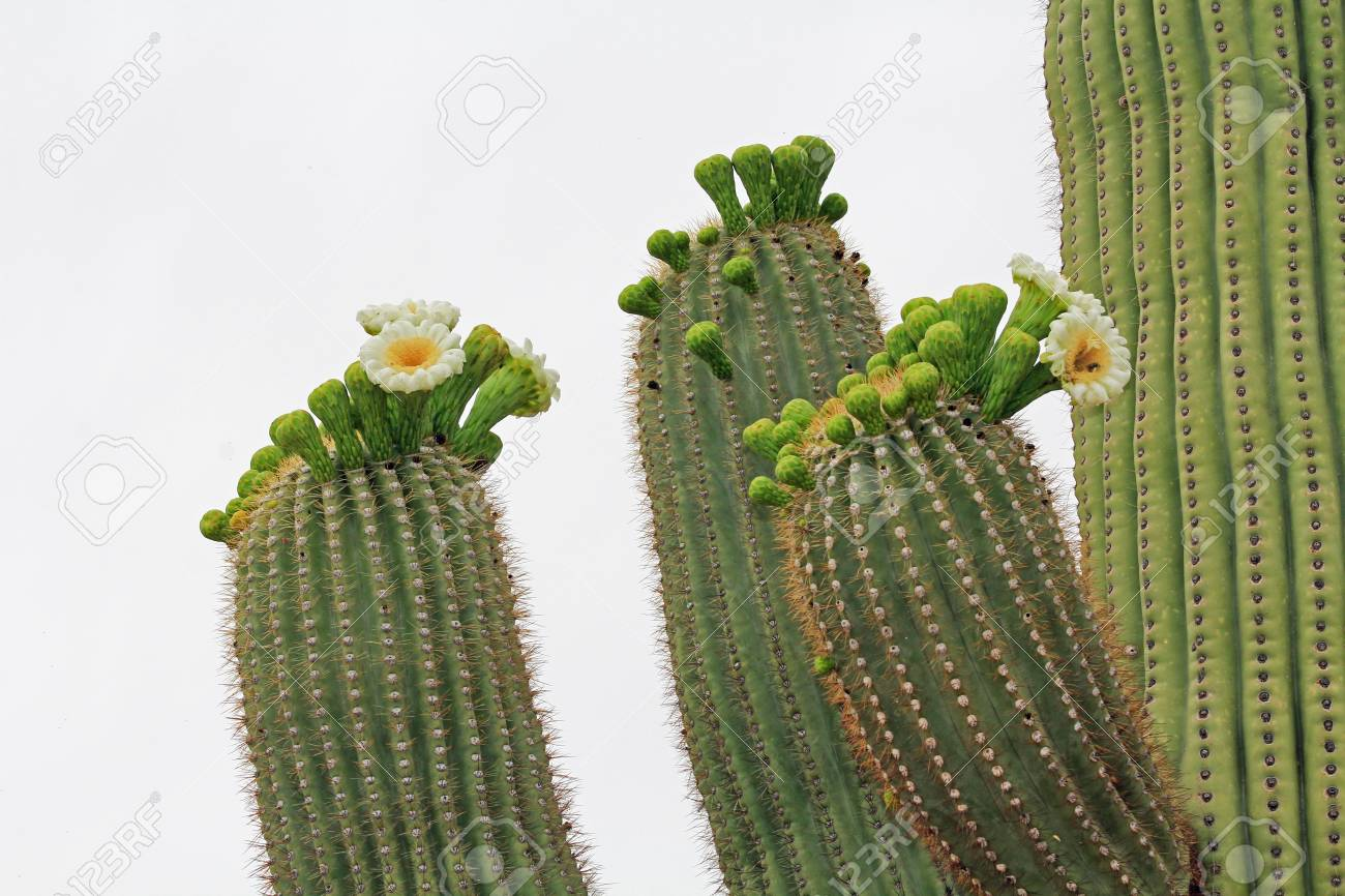 The Top Of Three Arms On A Saguaro Cactus With New Blooms Of Stock