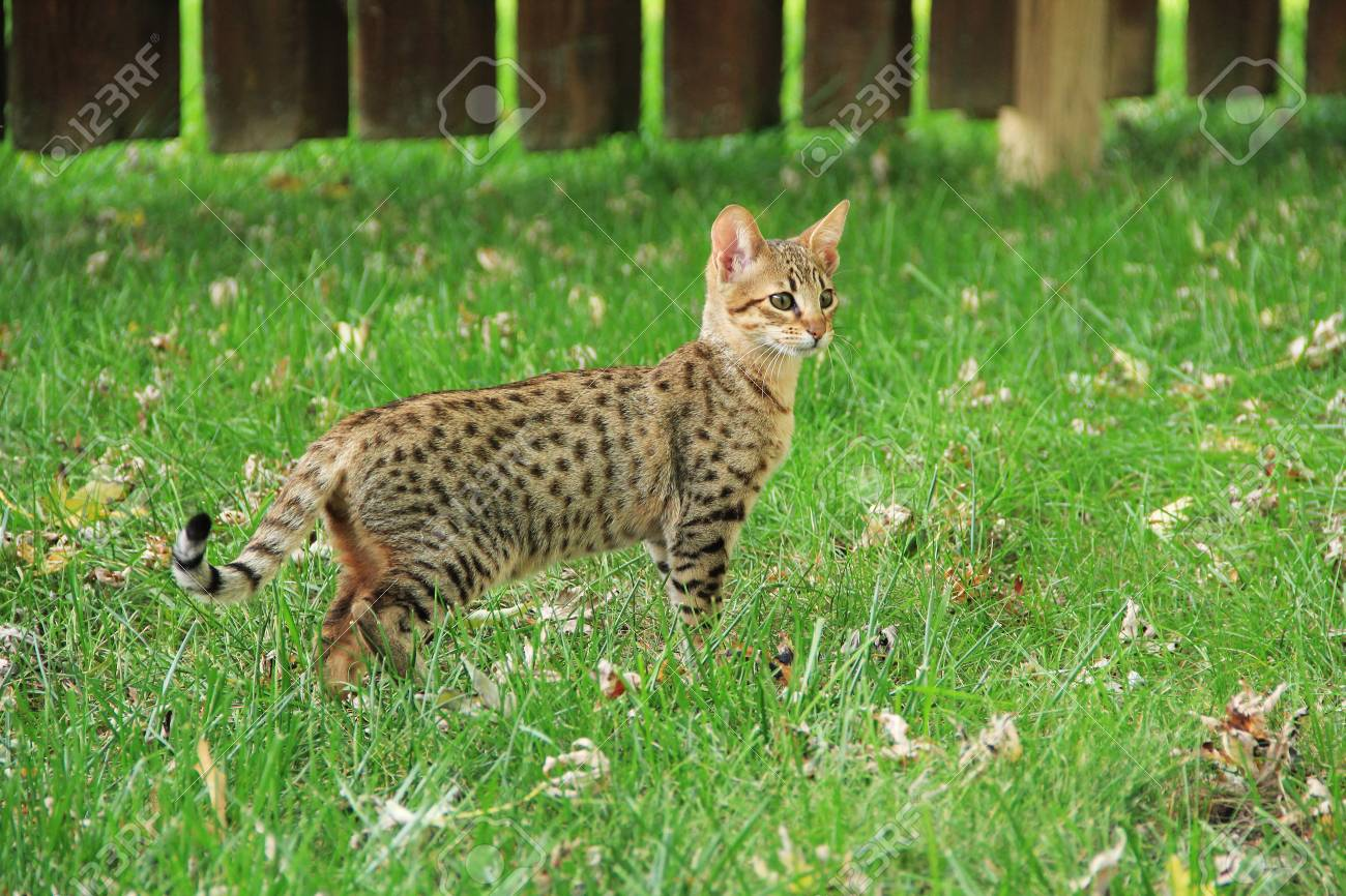 Savannah cat  Beautiful spotted and striped gold colored Serval