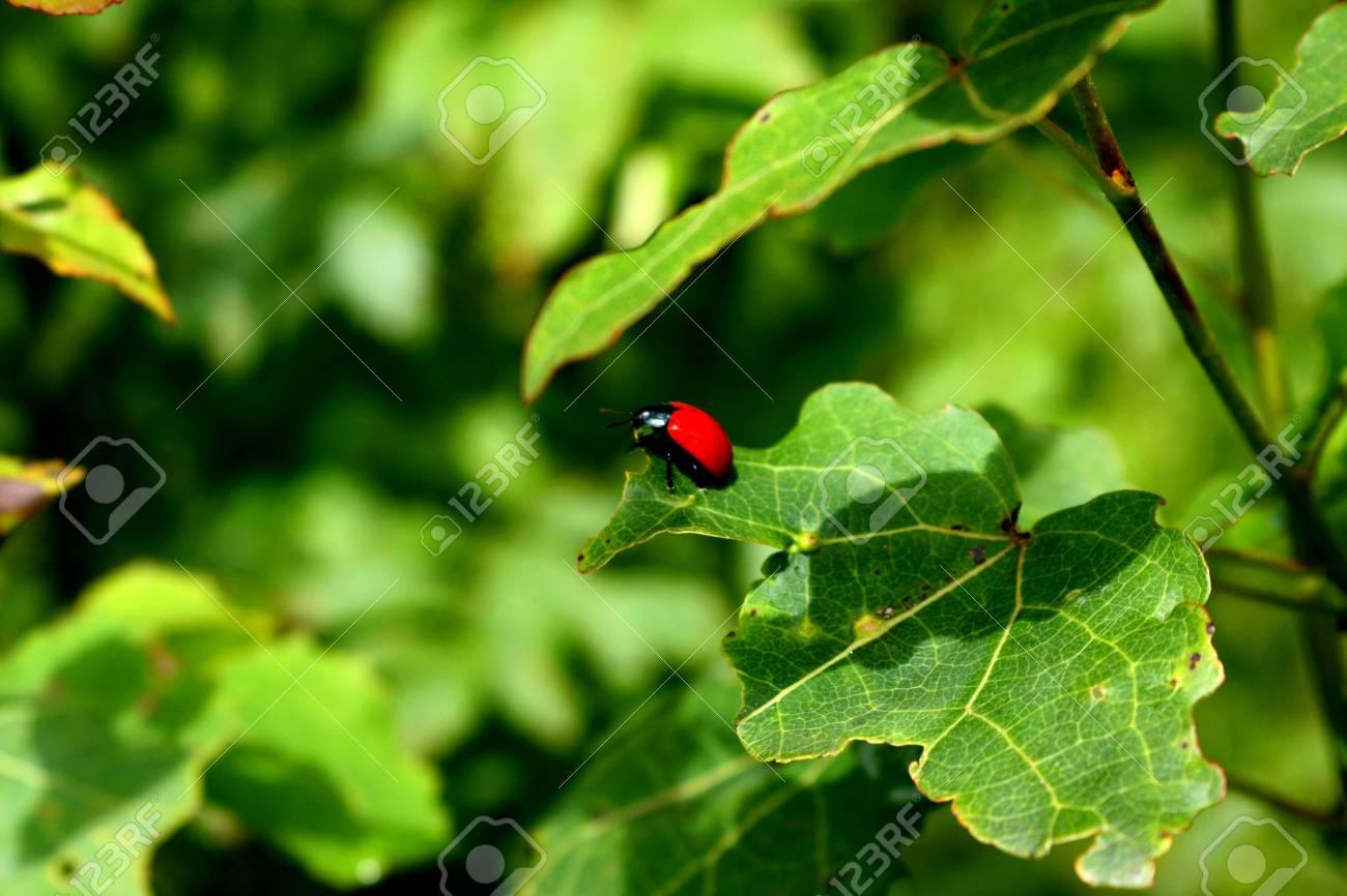 alone ladybird on oak leaf Stock Photo - 7268755
