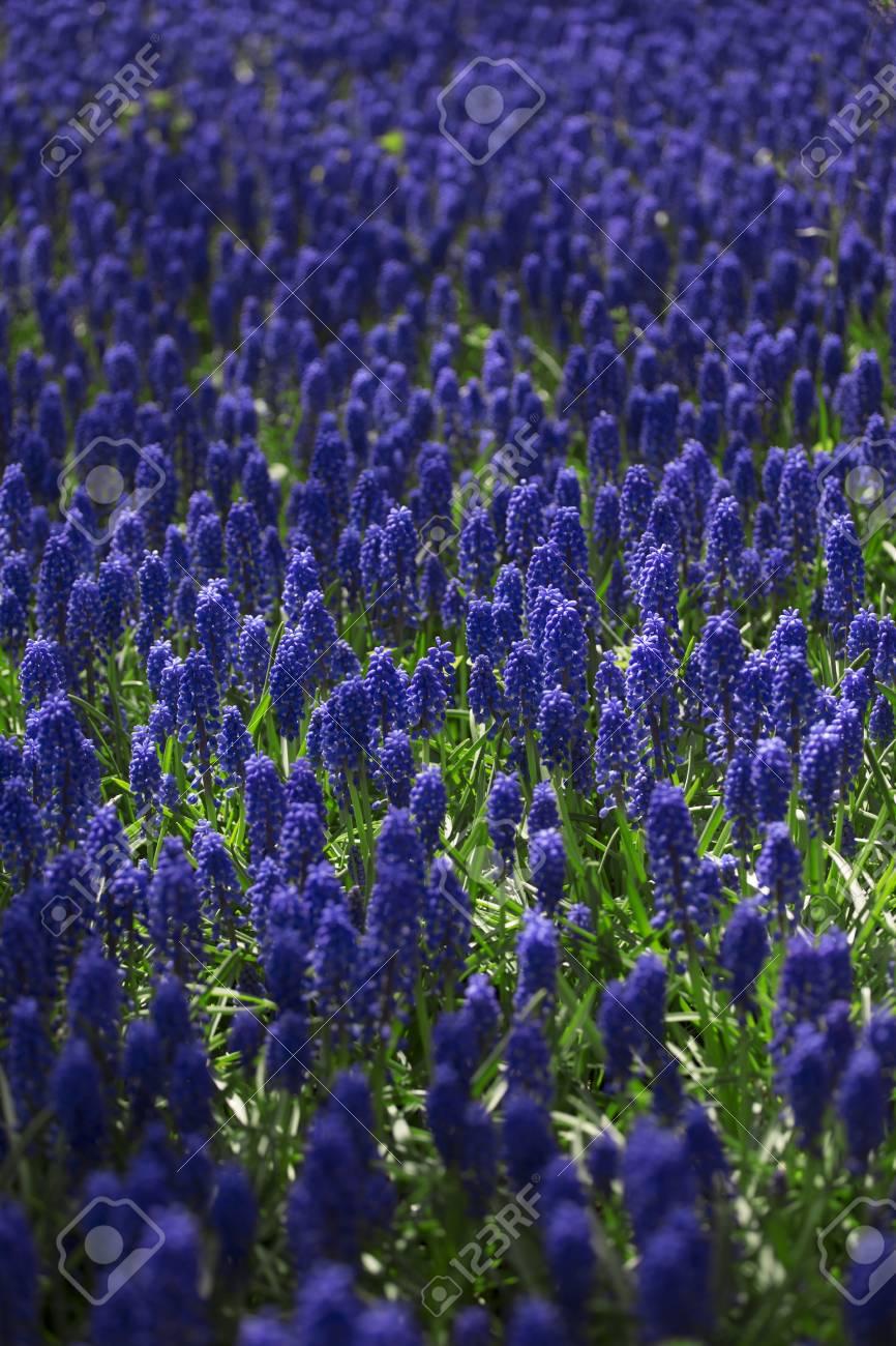 Hyacinth beautiful colorful pink white yellow and blue hyacinth beautiful colorful pink white yellow and blue hyacinth flowers in spring garden izmirmasajfo