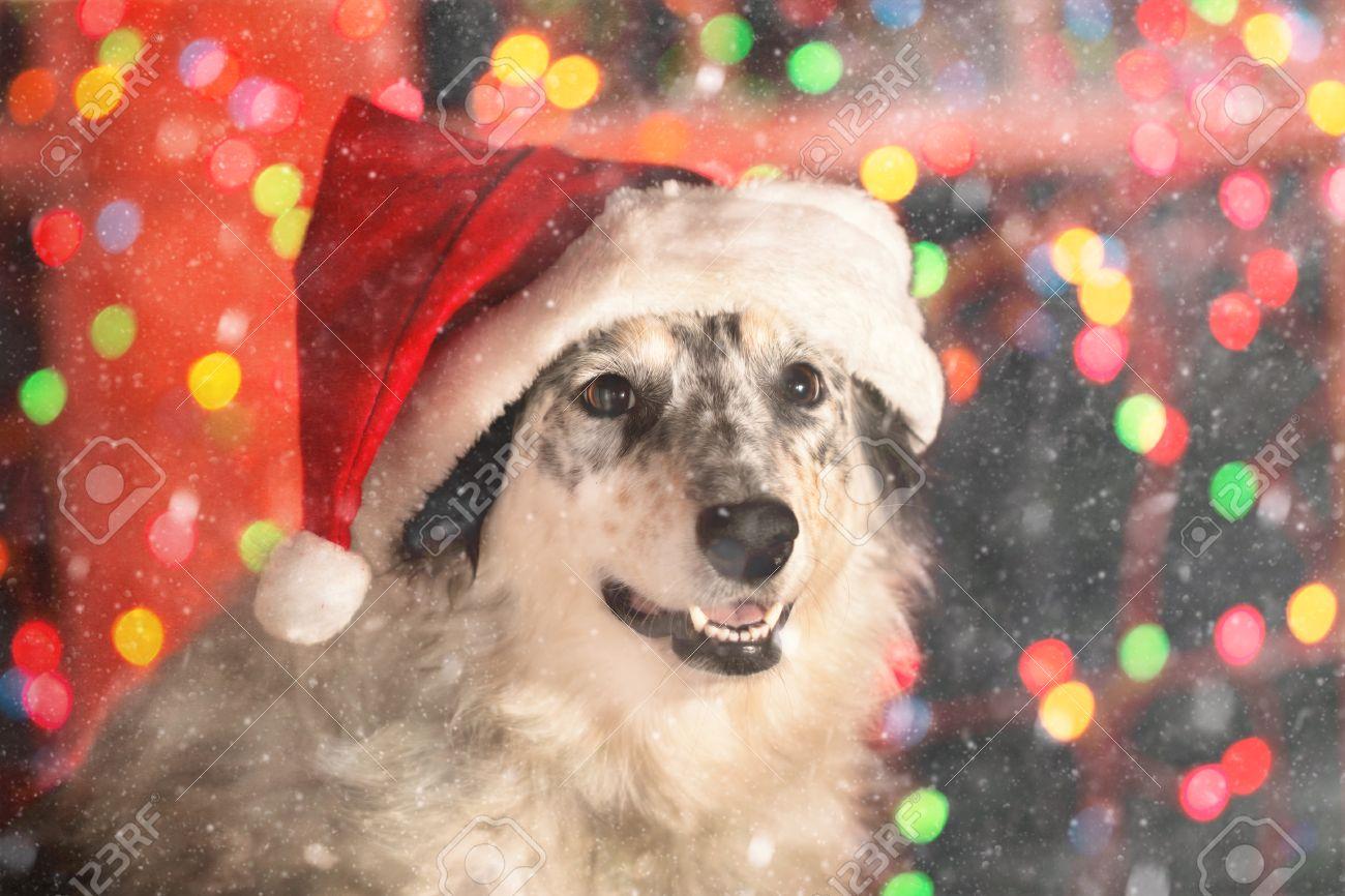 Border Collie Australische Herder Mix Hond Draagt Rode Kerstmuts