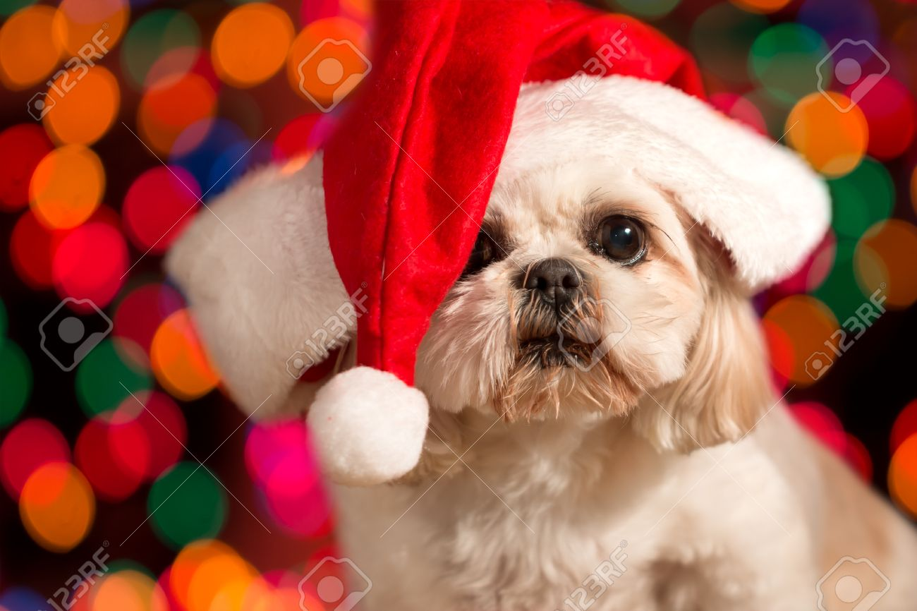 Kerstmuts Met Licht : Shitzuhond draagt rode kerstmuts met kerst vakantie lichten