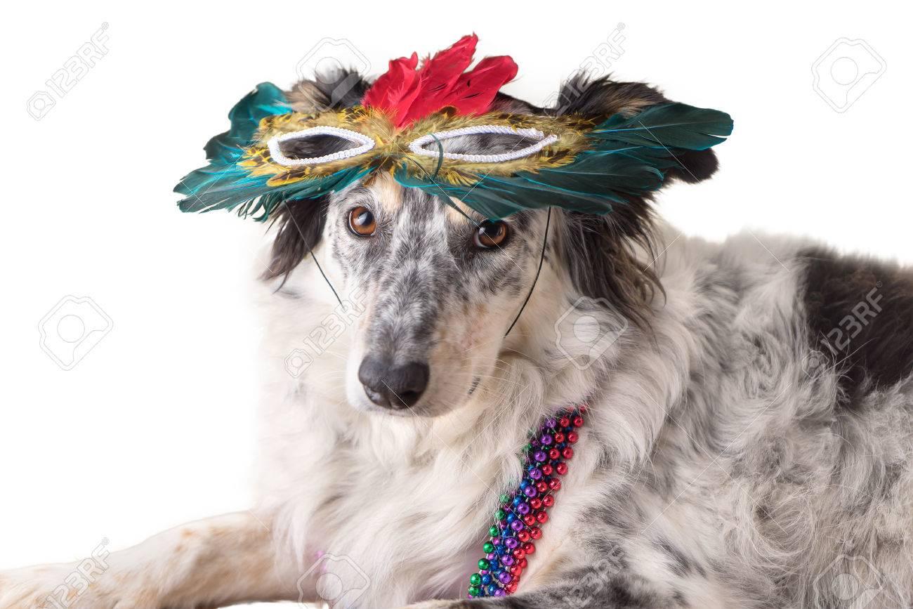 Isolierte Border Collie Australian Shepherd Mix Hund Trägt Mradi