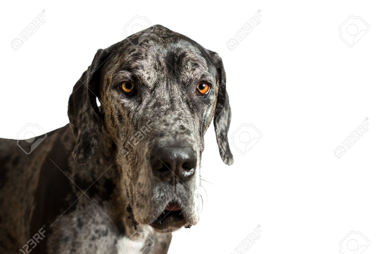 Collection of Great Dane Colors Harlequin - Coloring Steps