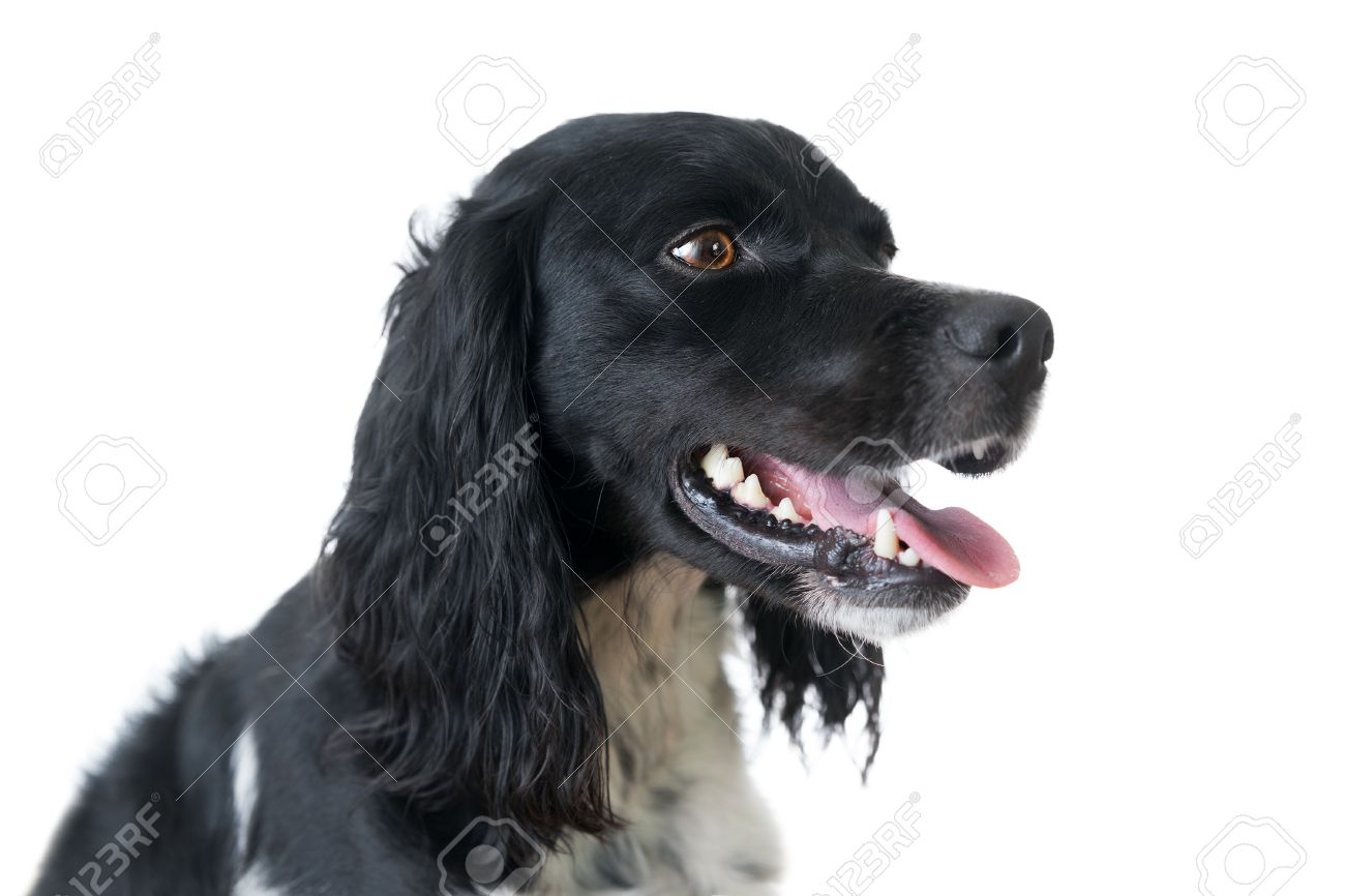 Simple Spaniel Canine Adorable Dog - 53370802-close-up-of-black-and-white-purebred-brittany-hunting-dog-canine-pet-isolated-on-white-background-wi  Pic_367118  .jpg