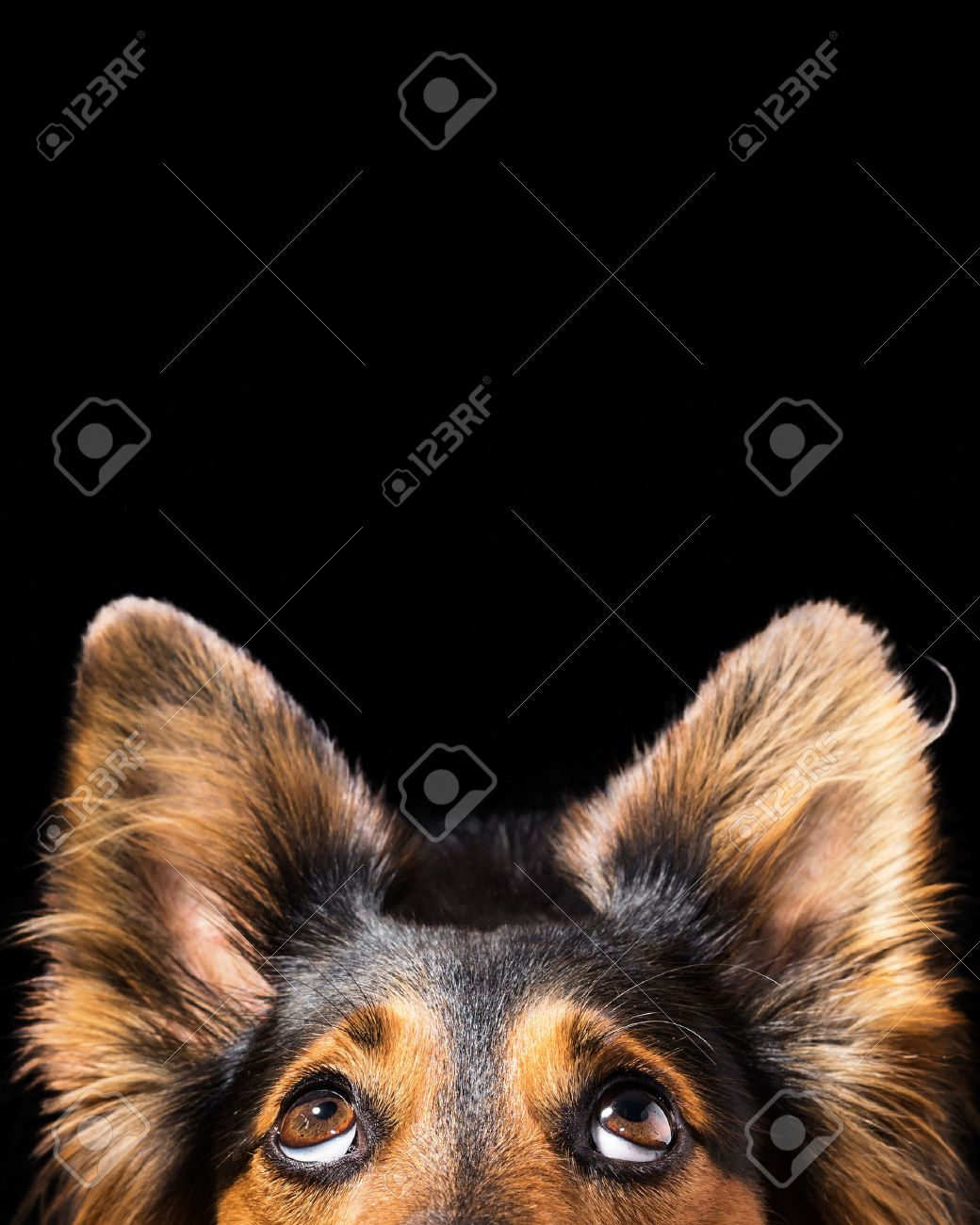 Close up of Black and brown mix breed dog or canine face looking up with big eyes and perky ears while curious interested adorable cute watching patient wanting hungry focused begging wishing hoping - 62441149