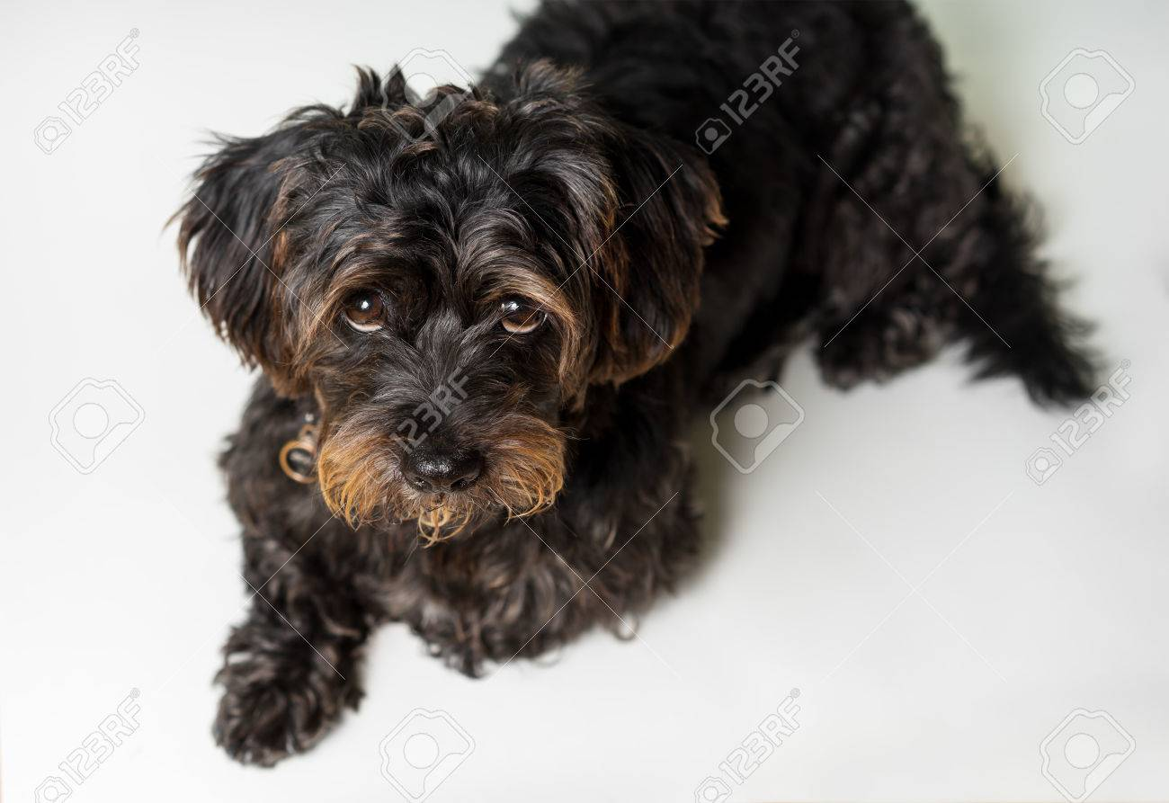 Amazing Sad Black Adorable Dog - 80304229-small-black-shih-tzu-mix-breed-dog-canine-lying-down-isolated-on-white-looking-up-at-camera-while-cu  Best Photo Reference_655875  .jpg