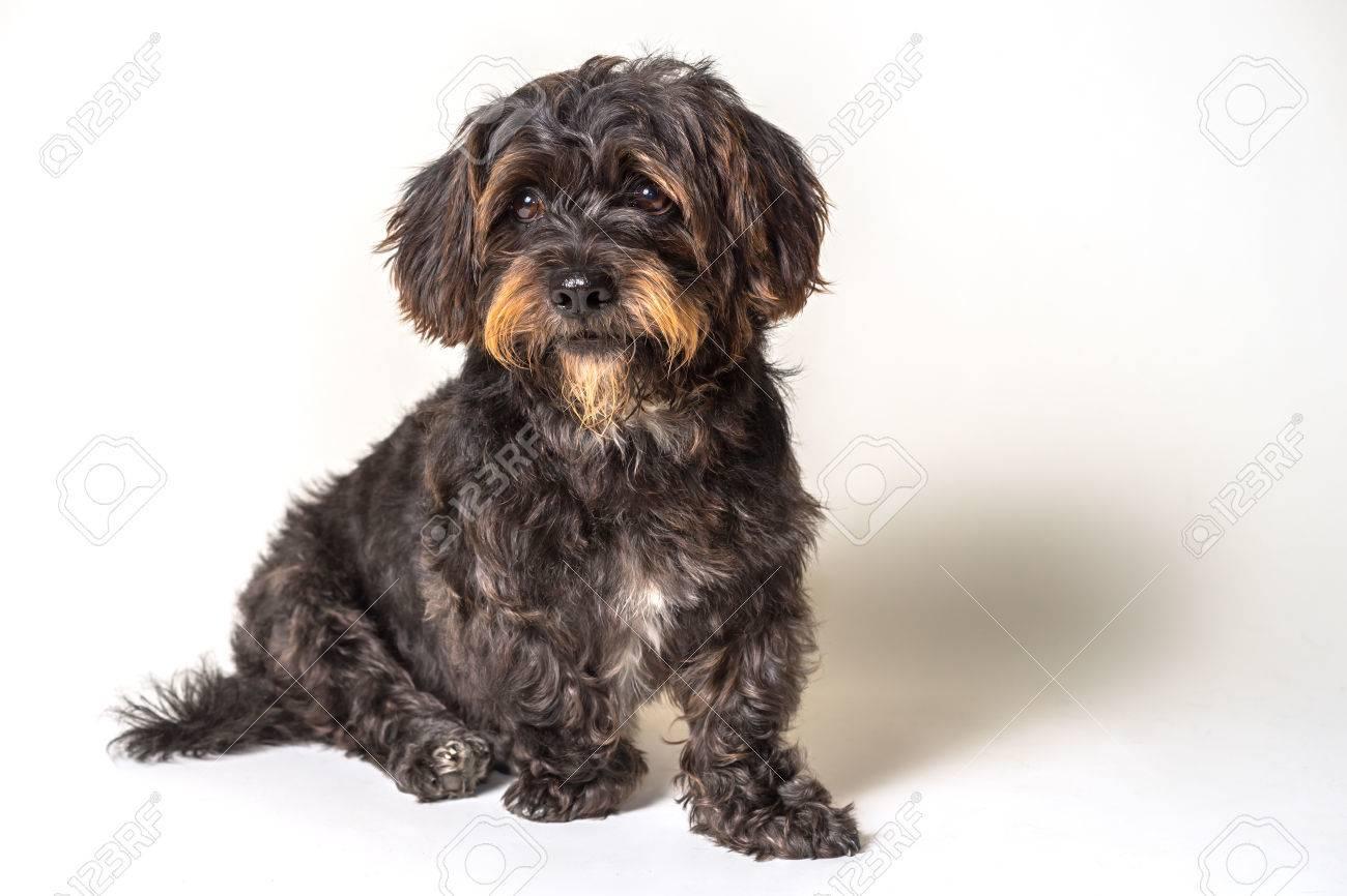 Shih Tzu Scottish Terrier Mix Rasse Hund Eckzahn Mit Eckigen