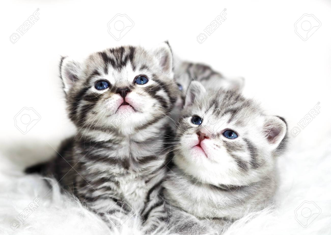 Cute Kittens On A White Background Beautiful Plush Kittens Babies Stock Photo Picture And Royalty Free Image Image 72954637