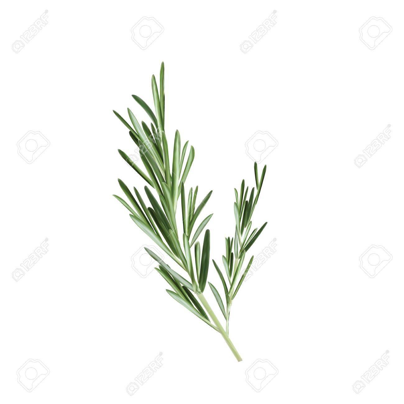 Sprig of rosemary vector illustration. Rosemary herb - 82740921