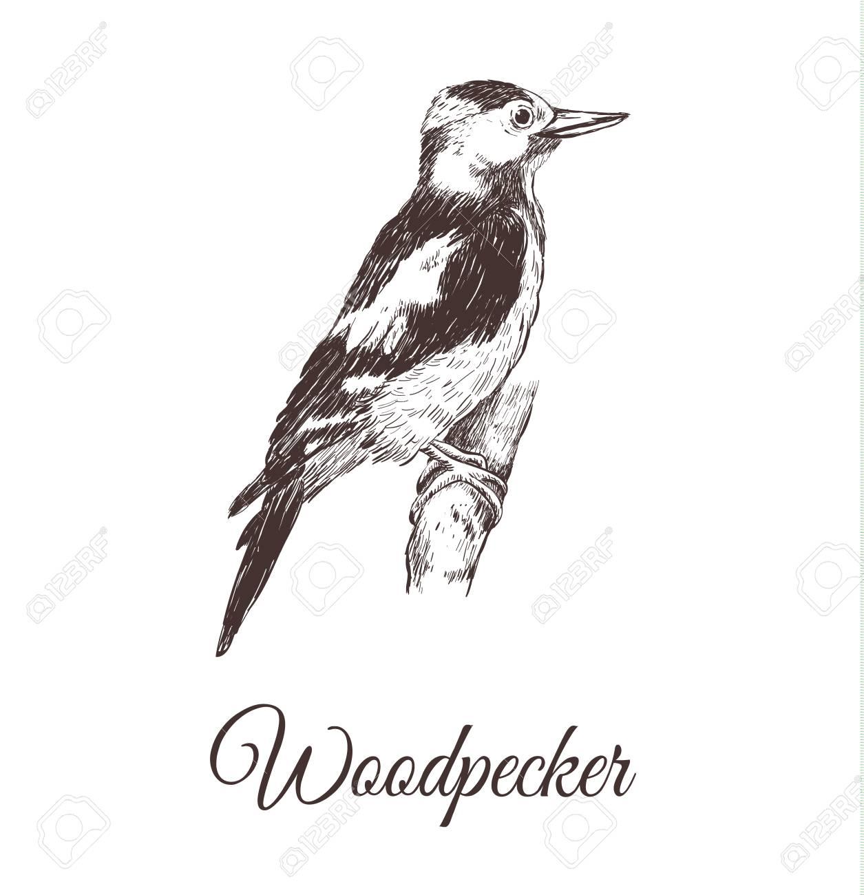 Ilustración De Vector De Dibujo De Pájaro Carpintero Una Serie De