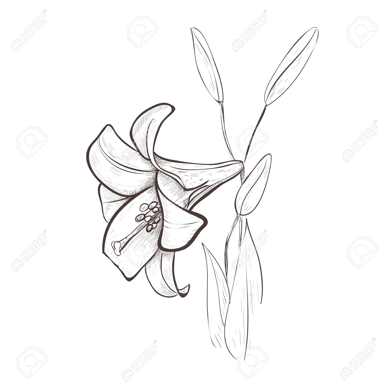 Lily Sketch Drawing Of A Flower Lily Flower Hand Drawing Vector