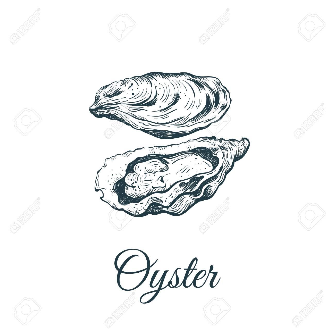 Oyster sketch vector illustration. oyster shell - 104120508