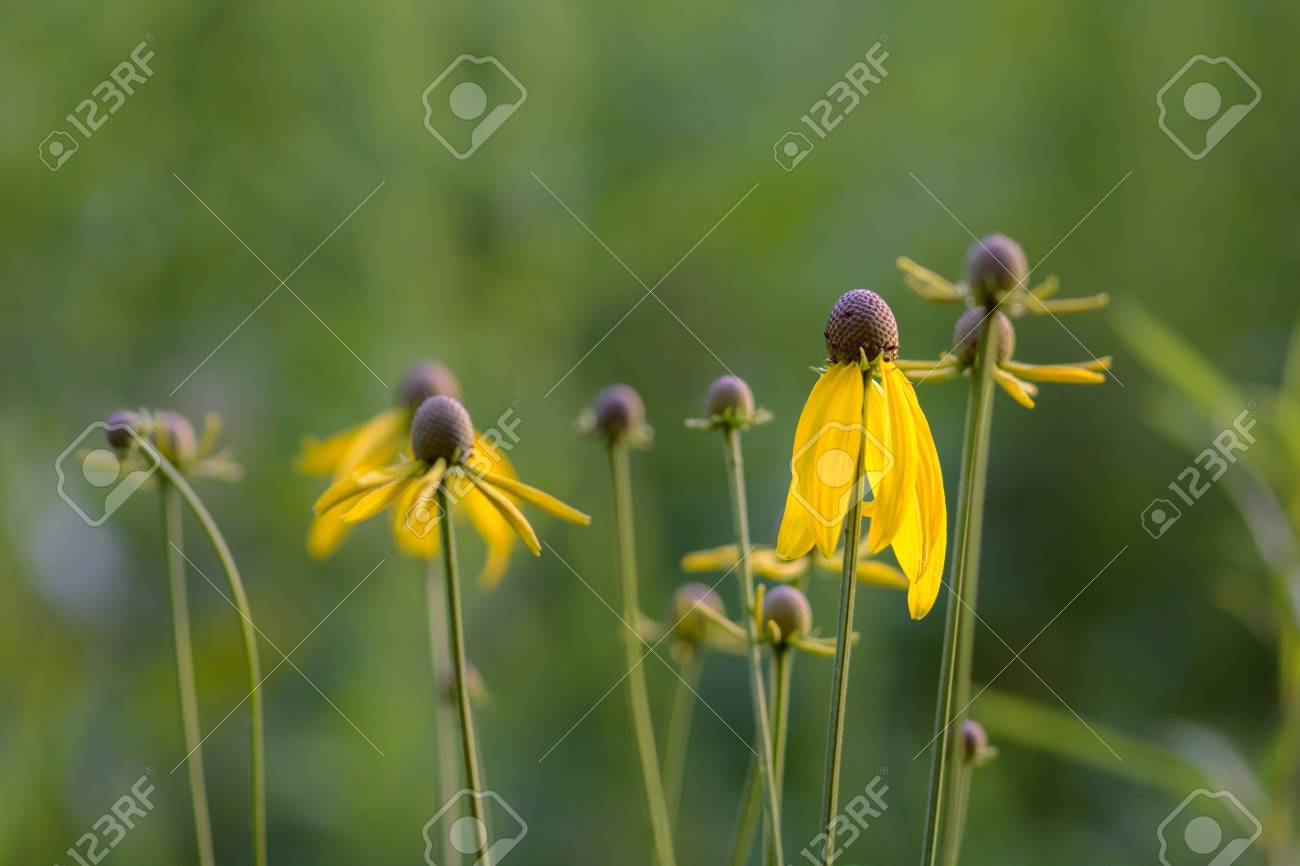 Grouping Of Yellow Cone Flowers In A Green Field Backdrop Stock