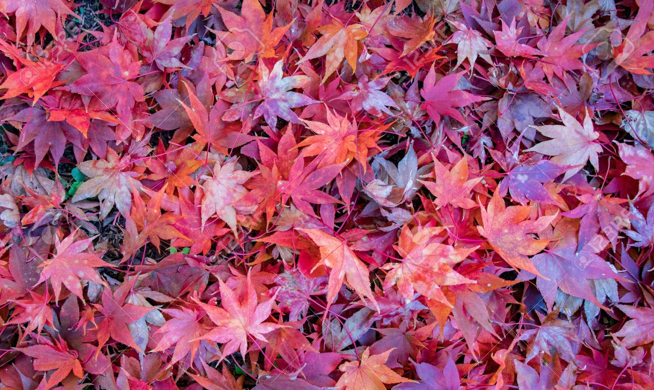 A Pile Of Vibrant Red Japanese Maple Leaves Scattere On The Ground