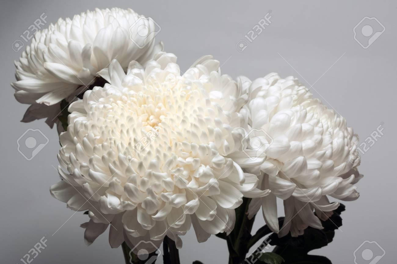 A Photo Of White Chrysanthemum Flower In Glass Vase On White Stock