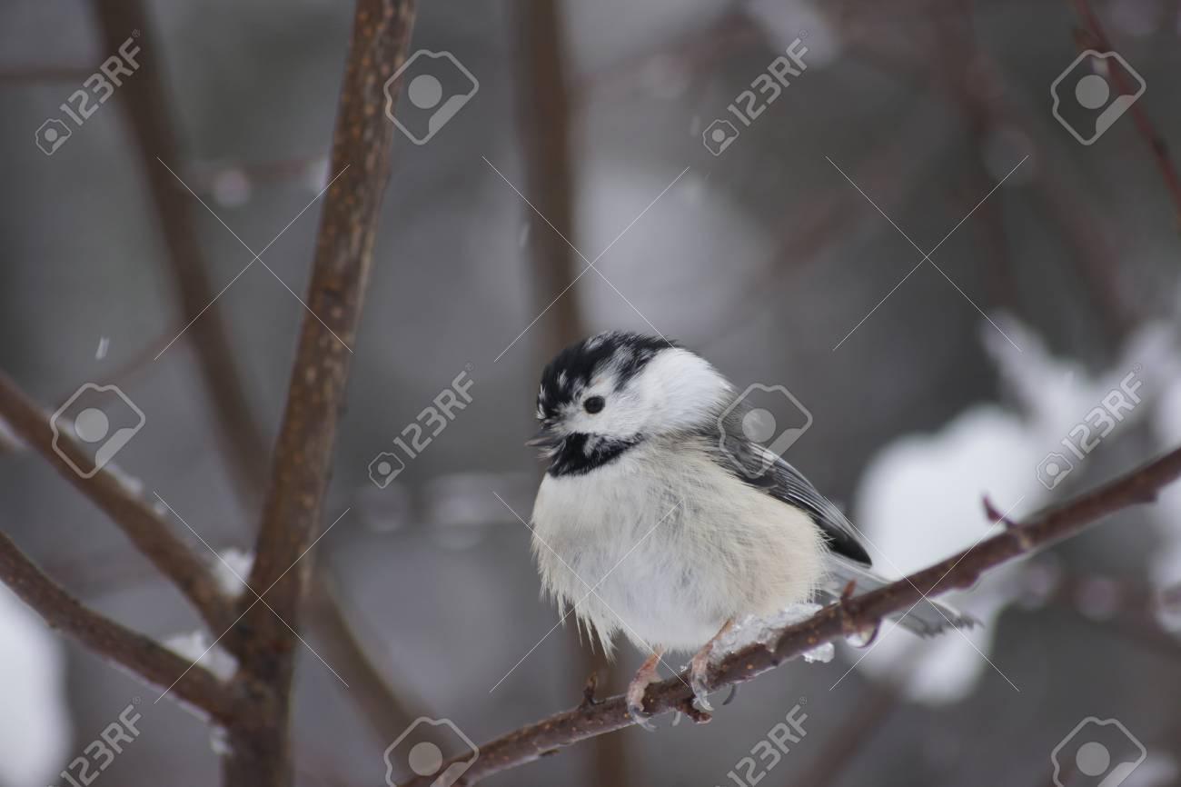 Gray Headed Chickadee